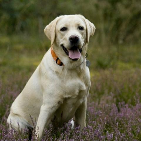 Labrador Retriever Dog Breed Info