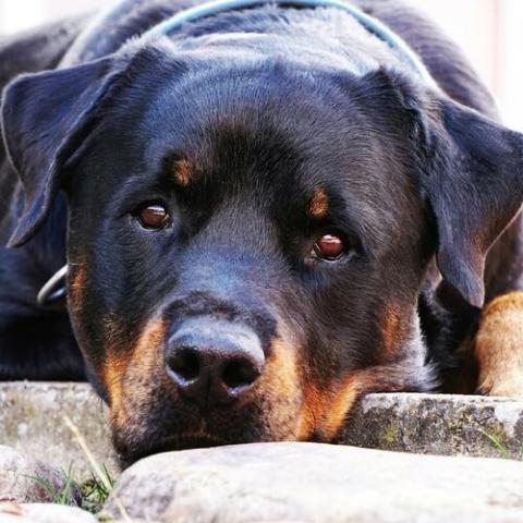 Rottweiler Dog Breed Info