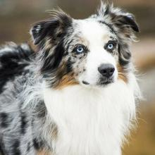 Australian Shepherd Dog Breed Info