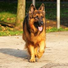German Shepherd Dog Breed Info