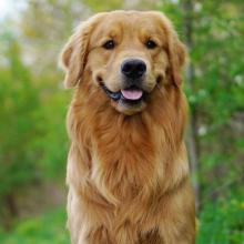 Golden Retriever Dog Breed Info