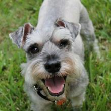 Miniature Schnauzer Dog Breed Info
